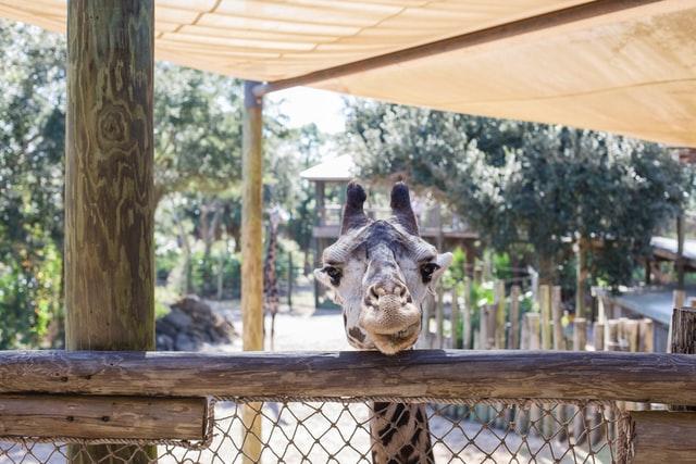 Giraffe in dierentuin