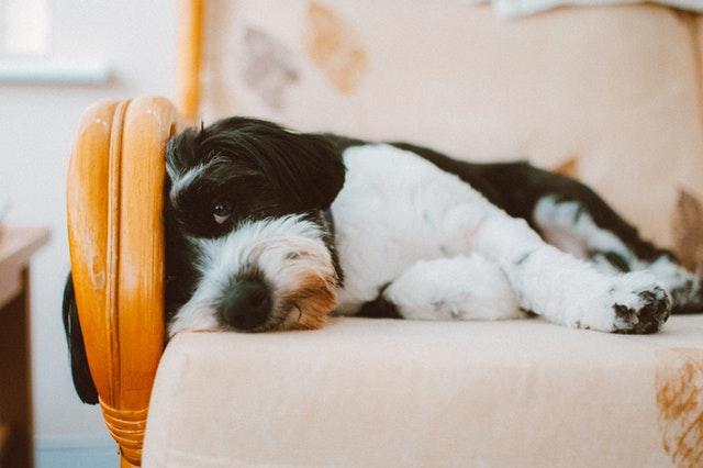 Hond in een stoel