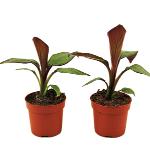 Bestel nu een set rode bananenplanten met 50% korting via Vouchervandaag