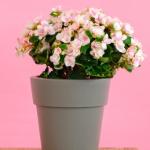 Greetz: pak 10% korting op een begonia bloemetje