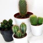 Bestel diverse cactussen met maar liefst 50% korting bij Groupon